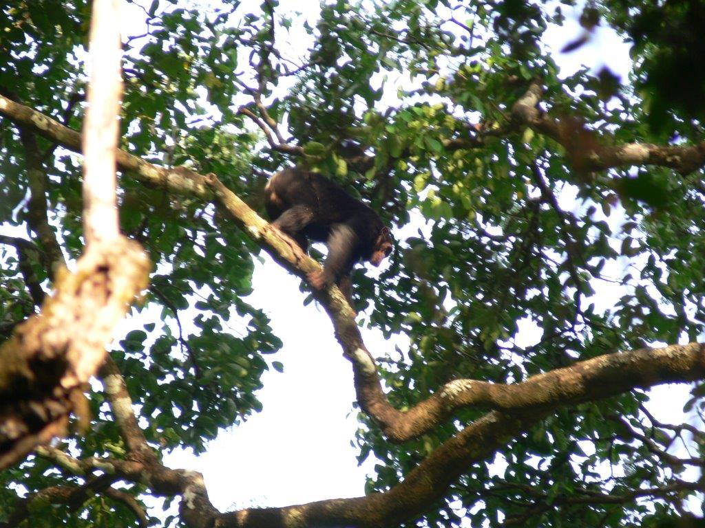 Schimpansensichtung. Bild: Dunja Arnaszus.